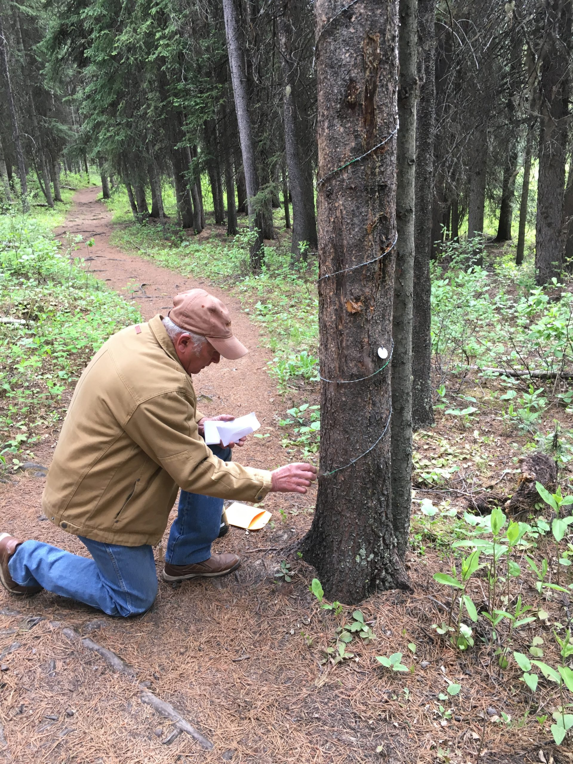 Collecting grizzly hair from a rub tree